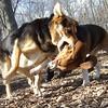 Puppy Beagle SNOOPY