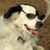 MARLEY (boy pup) SHADES 7