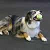 Marley (girl) flyball 2