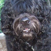 MOBY (portuguese water dog (champion)
