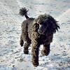 JETT (black poodle)