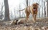 Rocky; Mastiff, FRIEND, OSSINING