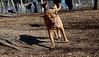 ROCKY (french mastiff) 2.jpg
