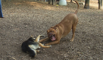 rocky mastiff maddie ossining friend