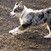 MAIA (aussie pup) run