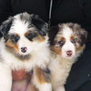 Maia Maverick (australian shepherd pups, Carol)