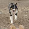 OLIVER (australian shepherd, 1yr.)
