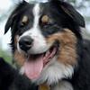 OLIVER (australian shepherd, 1 yr.)