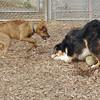 OLIVER , Maggie (puppy)