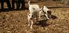 Petey (new puppy)11