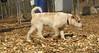Petey (new puppy)02