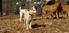 Petey (new puppy)04