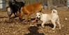Petey (new puppy)06