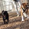 ruby (boxer puppie), Zeus (pug)