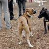 RUBY (boxer pup), Shadow (pitbull pup) 4