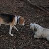 CARLEY  (11 yr. beagle), BISCUIT (months)