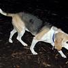 CARLEY (11 yr. old beagle)