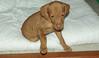 vizsla puppy_00006