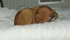 vizsla puppy_00005