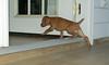 vizsla puppy_00004