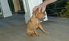 vizsla puppy_00002