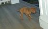 vizsla puppy_00001