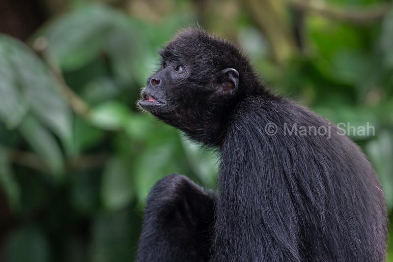 Black headed Spider Monkey