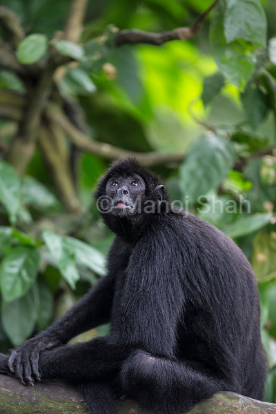 Black headed Spider Monkey