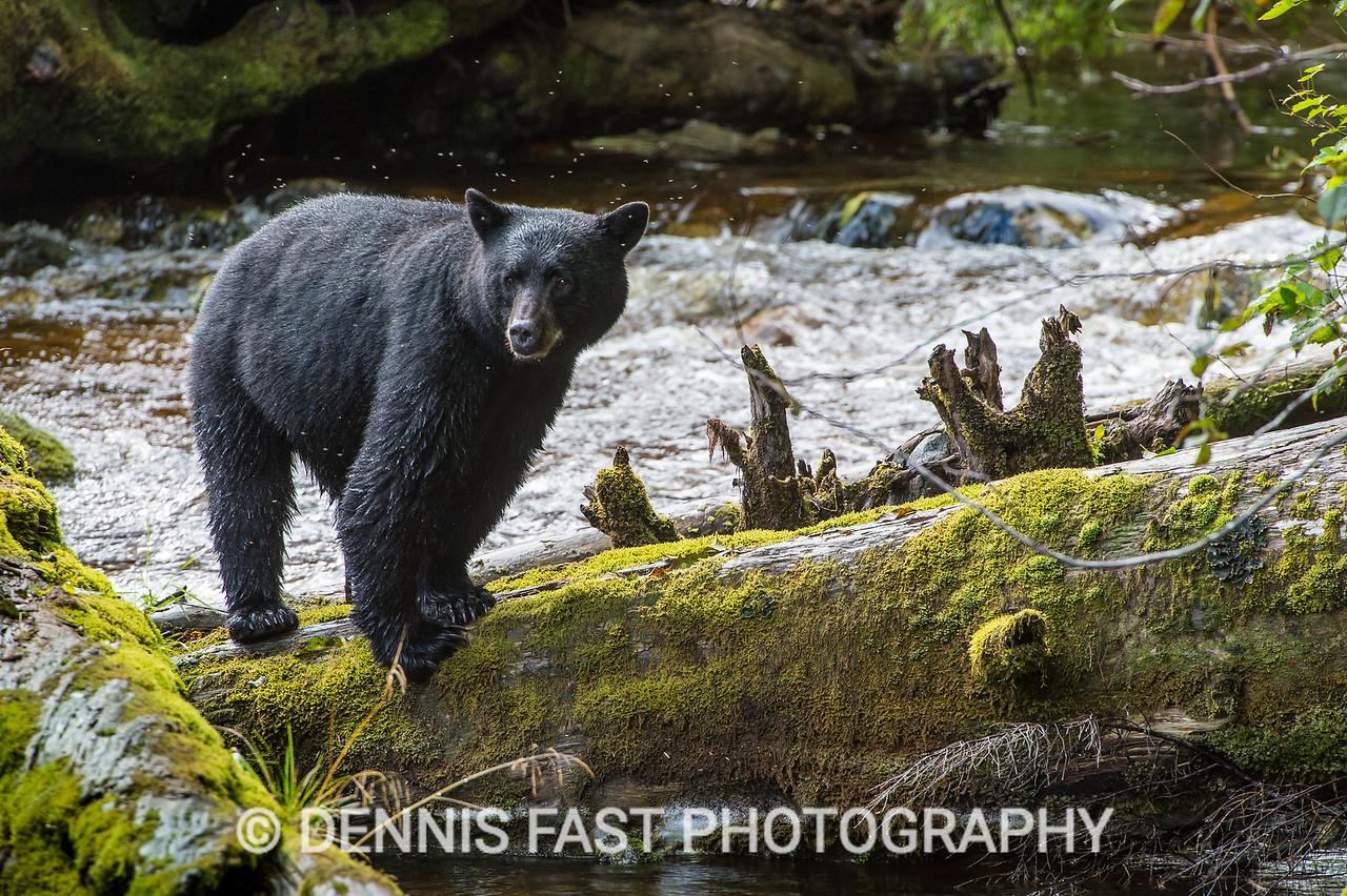 Kermode Black Bear (Ursus americanus kermodei) on Gribbell Island, British Columbia, Canada