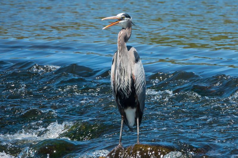 Heron at Yorkville