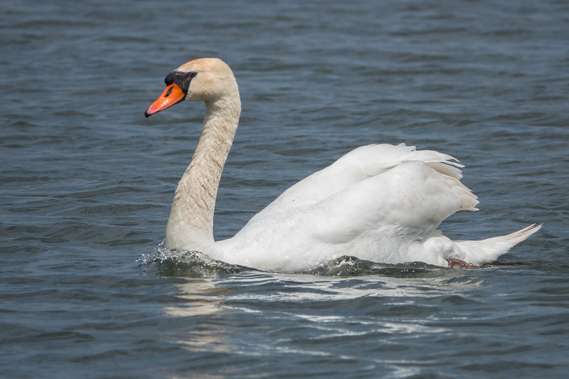 Swan getting a boost from his tail sail