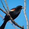 Red - winged Blackbird