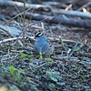 White - crowned Sparrow