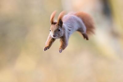Wiewiórka, Sciurus vulgaris, 005