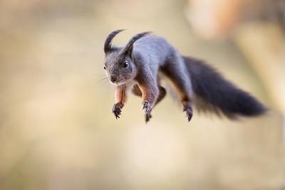 Wiewiórka, Sciurus vulgaris, 006