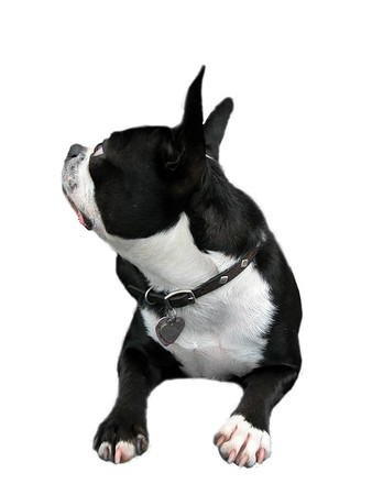 Isolated Boston Terrier looking up sideways.