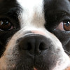 Boston Terrier sees something she likes.