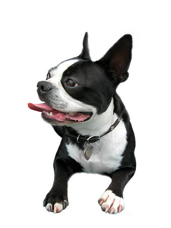 Isolated Smiling Boston Terrier with curled tongue.