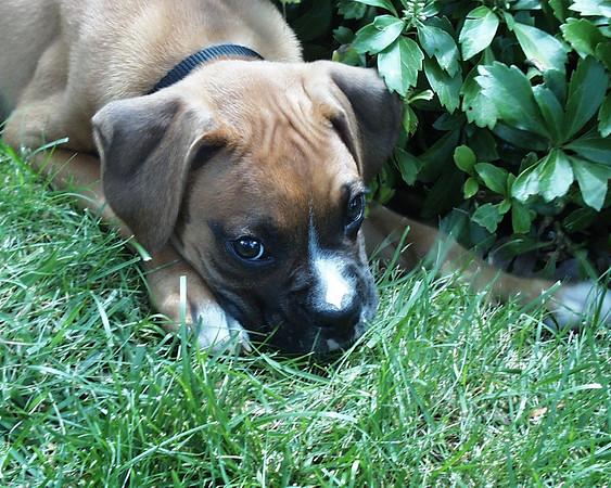 Boxer pup between grass and garden.