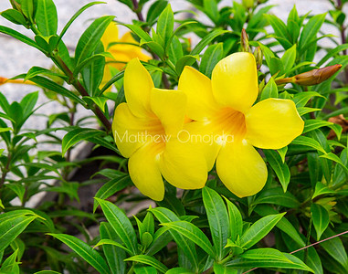 Yellow trumpet flower Allamanda cathartica  in the garden of St. Paul's Catholic Cathedral, Abidjan, Ivory Coast Cote d'Ivoire West Africa.