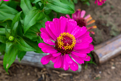 Zinnia. Pink flower in the garden of St. Paul's Catholic Cathedral, Abidjan, Ivory Coast Cote d'Ivoire West Africa.
