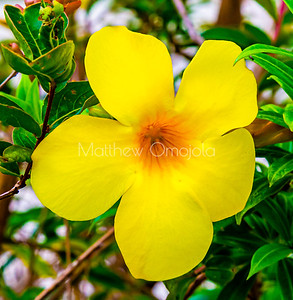 Allamanda cathartica in the gardens of St. Paul's Cathedral Abidjan Ivory Coast West Africa