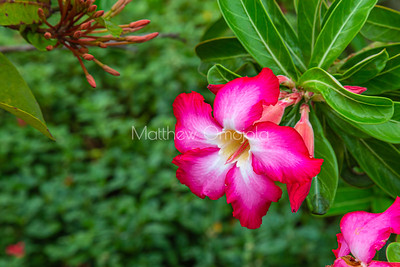 Desert Rose, adenium obesum in the gardens of St Paul's Cathedral Abidjan Ivory Coast West Africa Cote d'Ivoire.