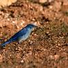 Mountain Bluebird along Rock River Rd.