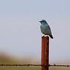 Mountain Bluebird 1 male along Cooperstown Rd