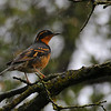 Varied Thrush 2 at Knights Ferry