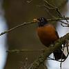 American Robin at Turlock lake Campground 1