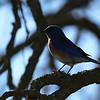 Western Bluebird 2 along Cooperstown Rd
