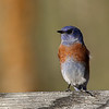 12-Western Bluebird at Deercreek Campground