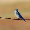 Mountain Bluebird 2 along Cooperstown Rd.